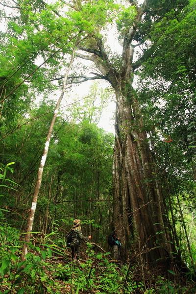 น้ำตกปิตุ๊โกลอซู อ.อุ้มผาง จ.ตาก ต้นไม้ในป่าเขา ระหว่างเดินทาง