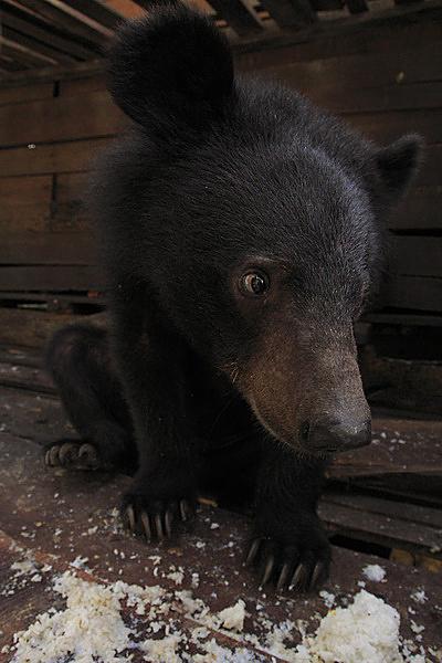 หมีควาย ต่างประเทศ บันทึกภาพไว้ชมขณะเดินทางข้ามแดนไปท่องเที่ยว
