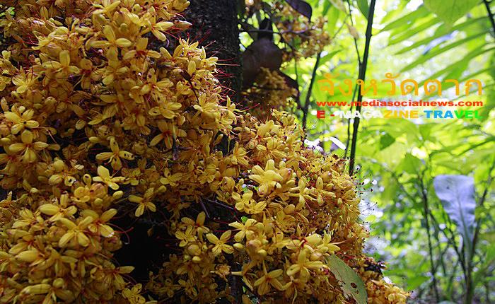 น้ำตกปิตุ๊โกลอซู ดอยสามหมื่น อ.อุ้มผาง จ.ตาก ดอกไม้ป่า ในป่าเขา พบเห็นระหว่างเดินทาง
