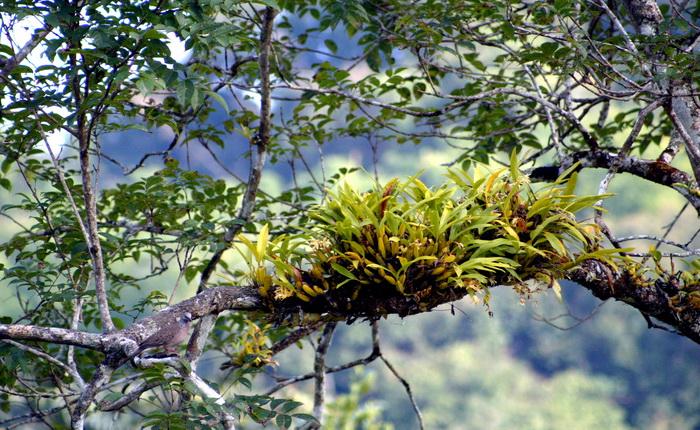 ปางตอง แม่ฮ่องสอน  นกเขา