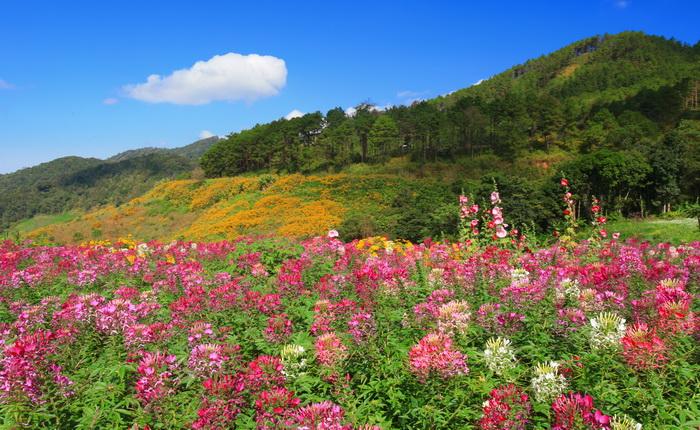 ดอกบัวตอง ดอกเสี้ยนฝรั่ง ดอยแม่อูคอ ขุนยวม แม่ฮ่องสอน หมู่บ้านชาวเขา