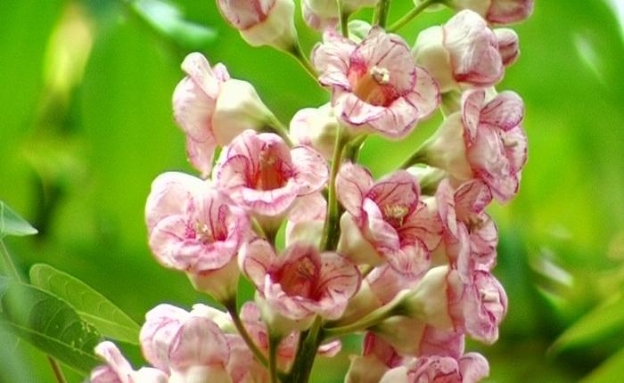 ดอกชมภูภูคา น่าน