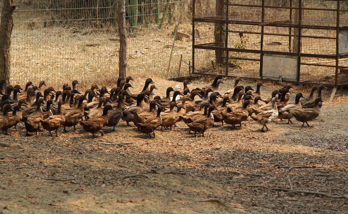เป็ดไข่ ทหารพันธุ์ดี มทบ.๓๔ ค่ายขุนเจืองธรรมิกราช มณฑลทหารบกที่ 34 พะเยา