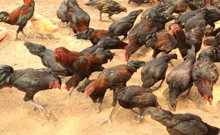 ไก่ ทหารพันธุ์ดี มทบ.๓๔ ค่ายขุนเจืองธรรมิกราช มณฑลทหารบกที่ 34 พะเยา